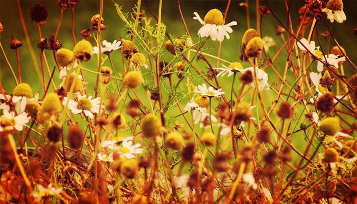 Manzanilla de jardin