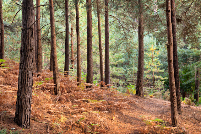 Pine trees on the National Trust wildlife reserve of Brownsea Island in Dorset