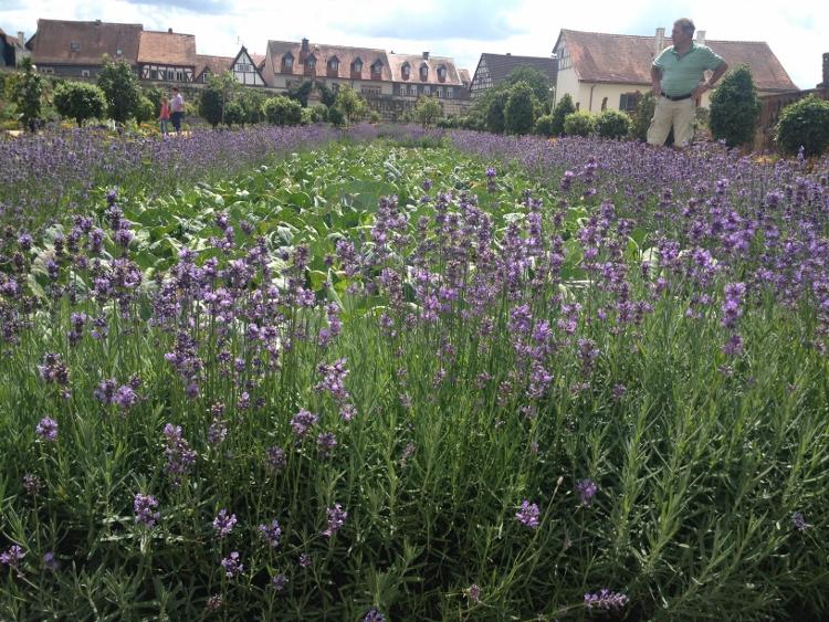 Salat von Lavendel umgeben