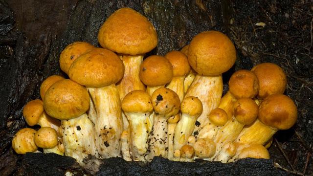 Un hongo de EE.UU. es reconocido como uno de los organismos más grandes y viejos del planeta