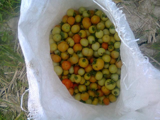 Hasil Panen Tomat Rampai