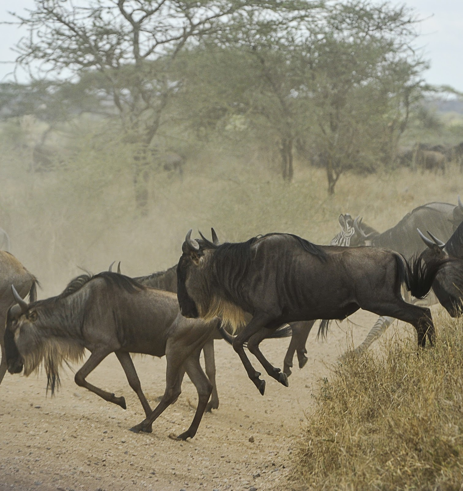 Picture of wildebeests running.