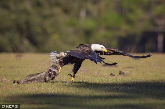 Embarrassing: Eagle got counter attack from a raccoon