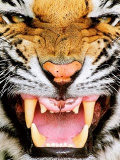 angry tiger face wallpaper - photo #24