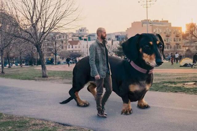 إليكم حقيقة صور هذا الكلب العملاق الذي انتشرت  صوره على الفيسبوك وصدقها البعض !