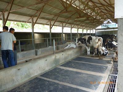 ternak sapi potong: kandang sapi modern
