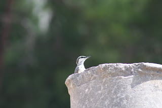 Western Rock Nuthatch.