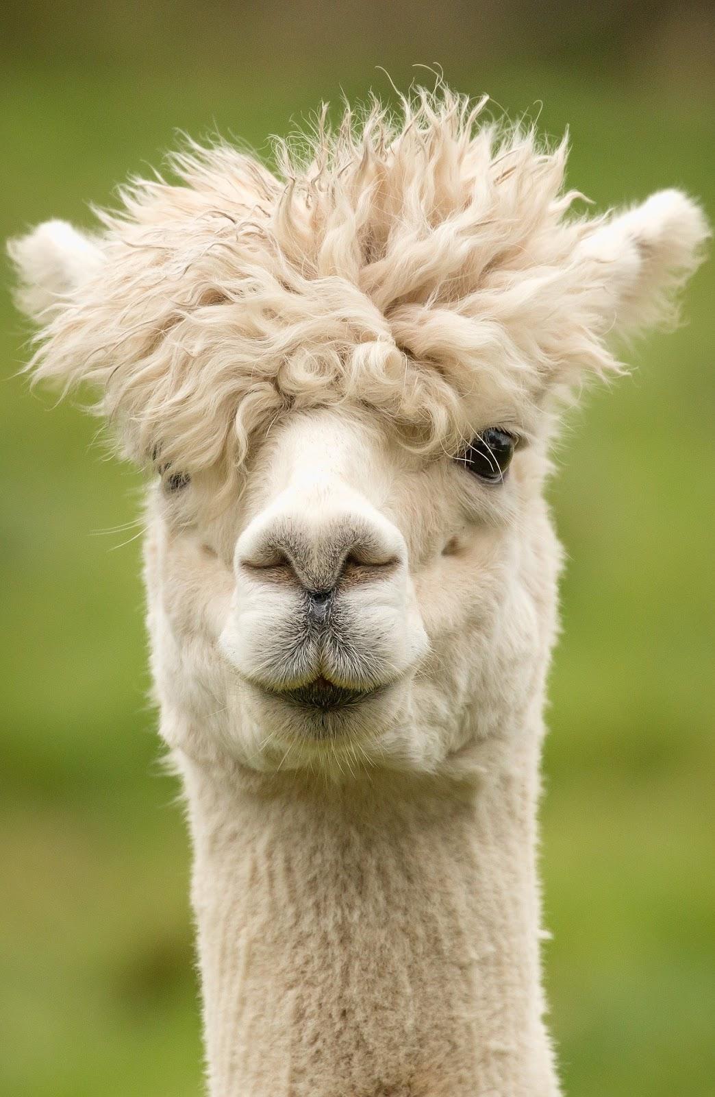 Alpaca fancy head hair style.