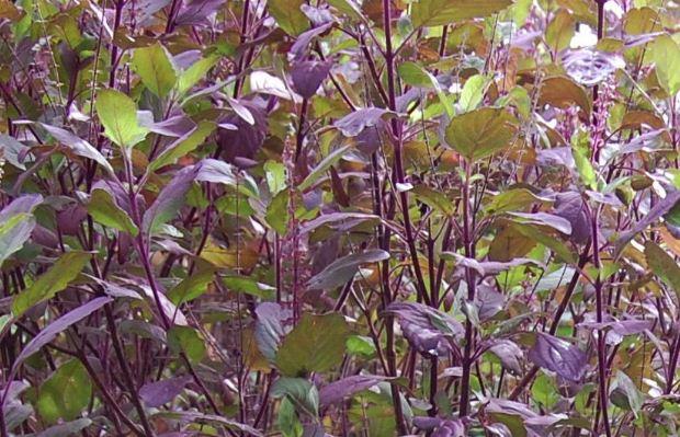 Hình ảnh cây hương nhu 3