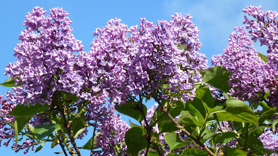 Lilac flowers against a blue sky