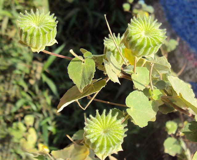 Cây Cối Xay - Abutilon indicum - Nguyên liệu làm thuốc Chữa Cảm Sốt