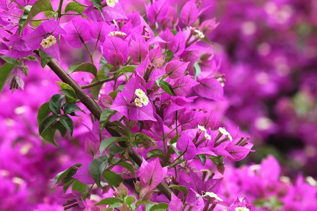 Manfaat Serta Kandungan Kimia Bunga Kertas Untuk Kesehatan