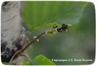береза, магия биологии, медвяная падь, тля, муравьи
