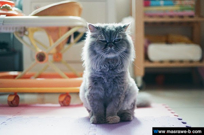 صور صور قطط كيوت 2020 خلفيات قطط جميلة جدا cats12.png