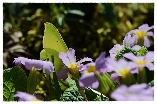 papillon Citron butinant une primevere