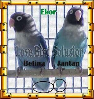Bentuk-ekor-lovebird