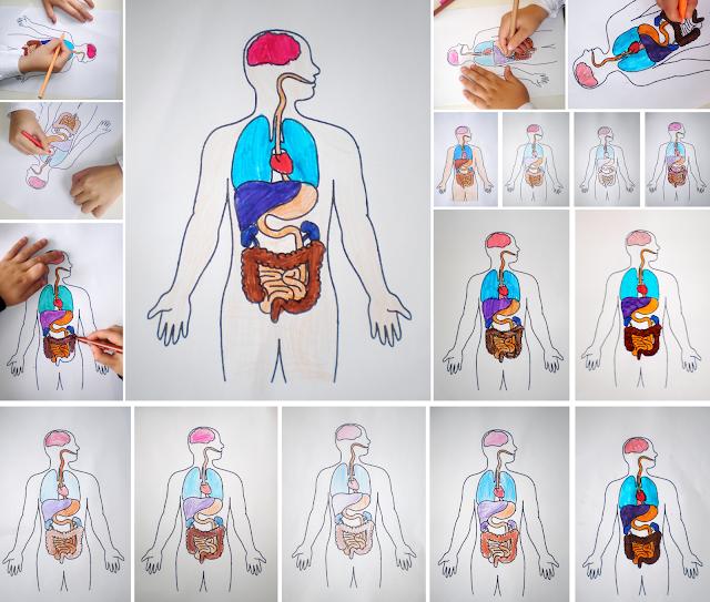 Organele din interiorul corpului uman