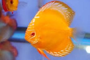 cara budidaya ikan discus di akuarium,ikan hias,ikan guppy,ikan patin,ikan nila,lele di kolam tembok,lele dalam kotak terpal,