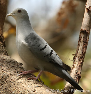 Blue Ground-Dove
