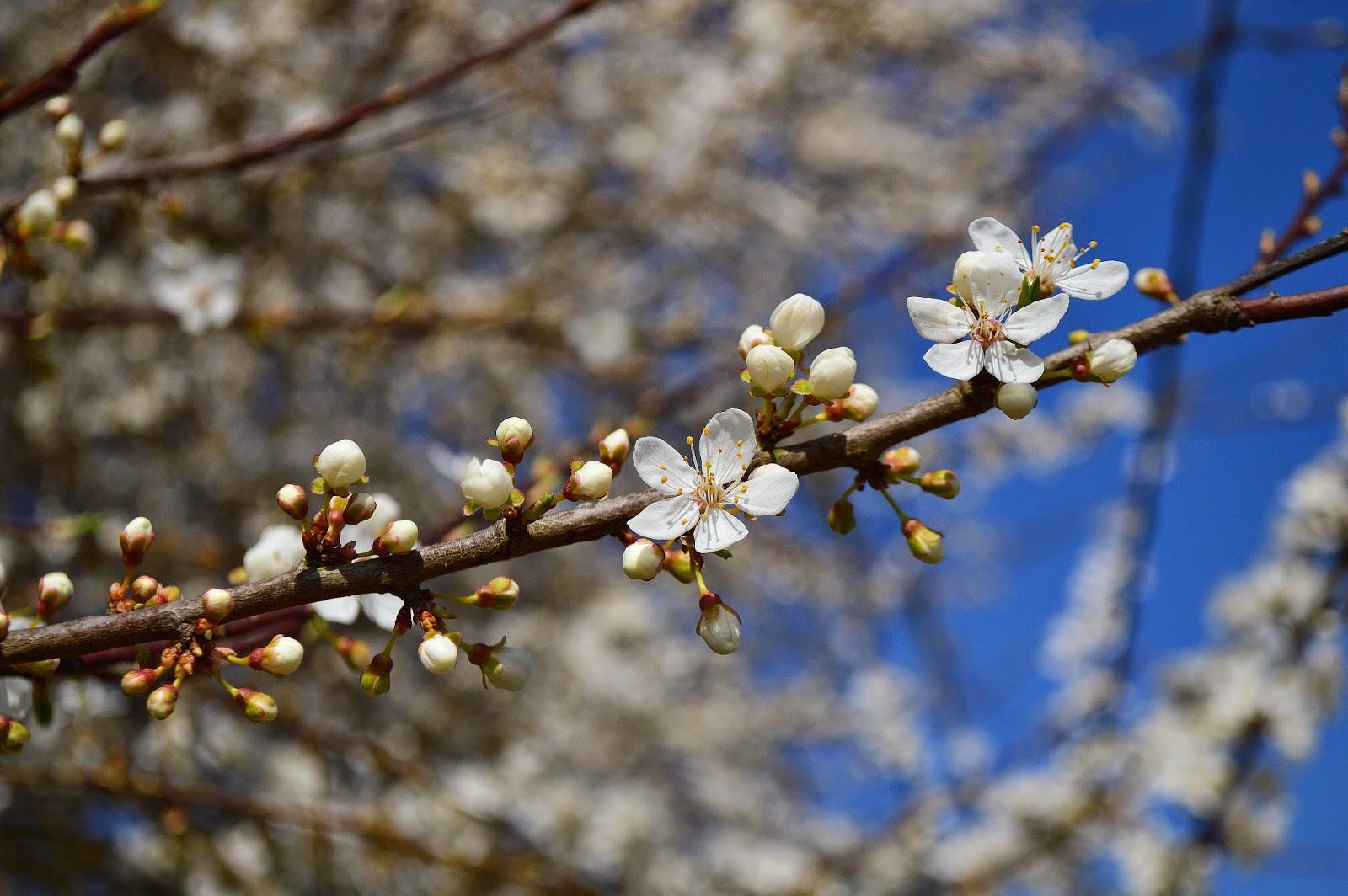 Fleurs de pommier à Belle-Ile-en-mer