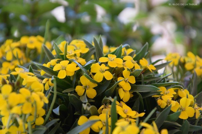 Erysimum hybridum Canary