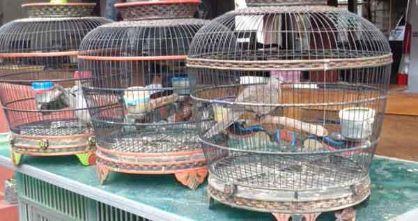 Memandikan Perkutut Bangkok - Memelihara Perkutut Bangkok Teknik Khusus Gacor