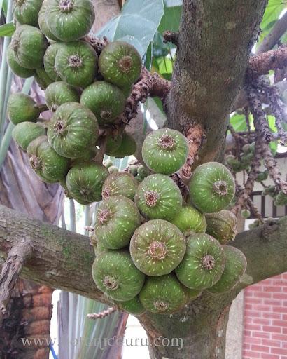 Ficus auriculata, Elephant Ear Fig