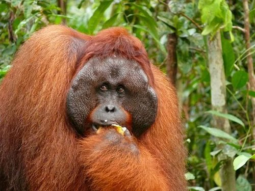 In the presence of orangutans