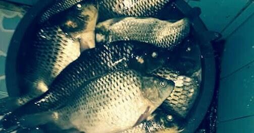 4 Umpan Ikan Mas Paling Jitu Tanpa Kroto Hobinatang