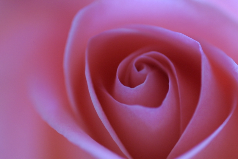 cute wallpaper 39 s cute pink roses. Black Bedroom Furniture Sets. Home Design Ideas