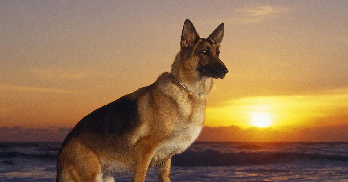 Cute Amp Cool Pets 4u German Shepherd Dogs Information And