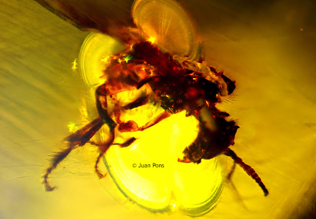 Amber insect under the microscope using extended depth of focus microscopy software.