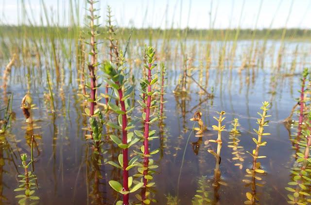 Nelilehtivesikuusia, joiden punaiset varret nousevat vedestä.