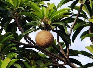 buah-sawo-untuk-ibu-hamil
