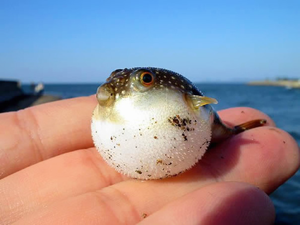 Baby Animals: Baby Puffer Fish