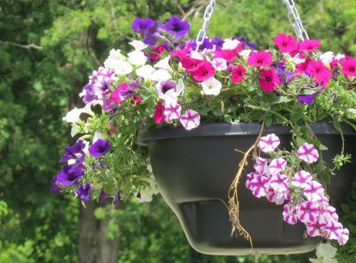 hanging planter with petunias