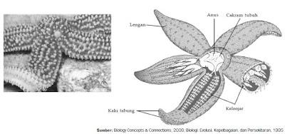 Klasifikasi Filum Echinodermata dan Contoh Spesies Hewan dari Kelas Asteroidea, Kelas Ophiuroidea, Kelas Echinoidea dan Kelas Holothuroidea