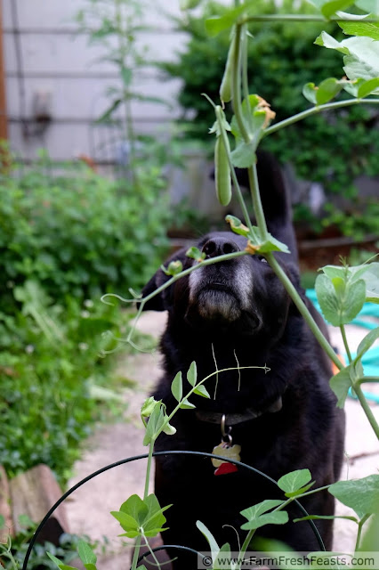 a large black dog sniffing sweet pea vines in a backyard garden