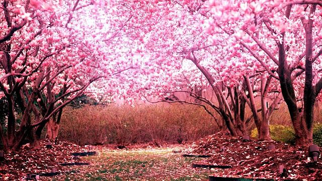 Cherry Blossom Wallpaper 8