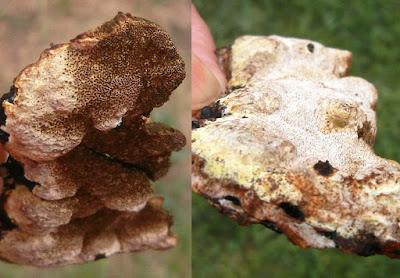 Inonotus glomeratus glancing pore surface