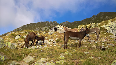 Mules watching us on Sentiero 201 up to Passo di Porcile.