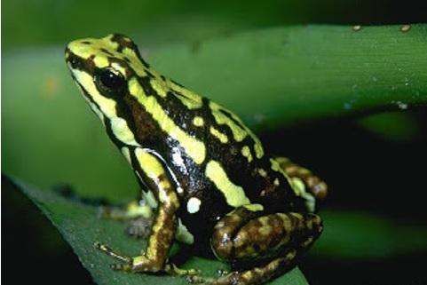 10 katak beracun di indonesia zolid zone