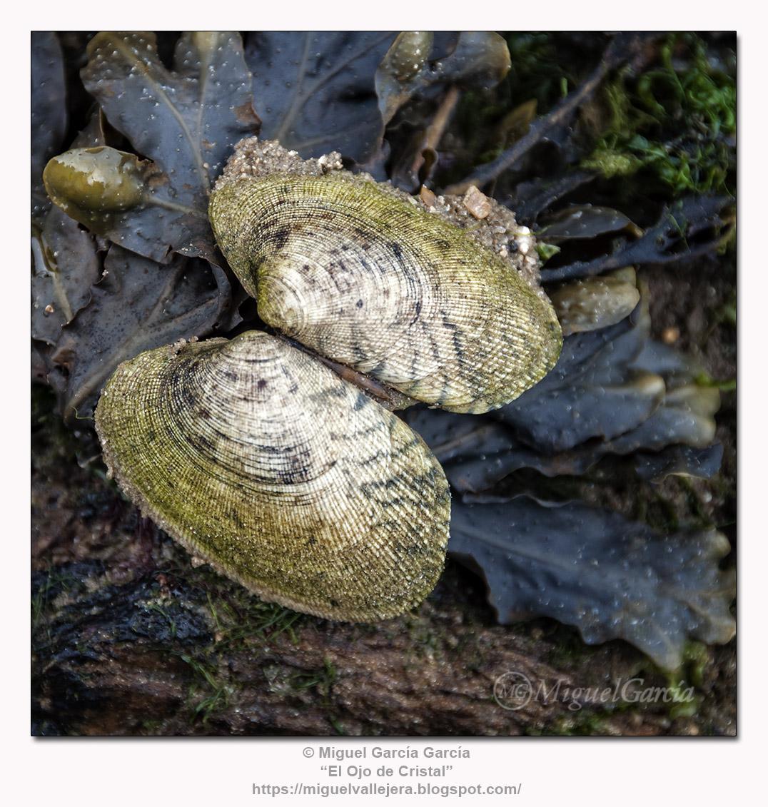 Conchas de almeja sobre arena y algas.