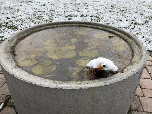 Seerosenpool zugefroren