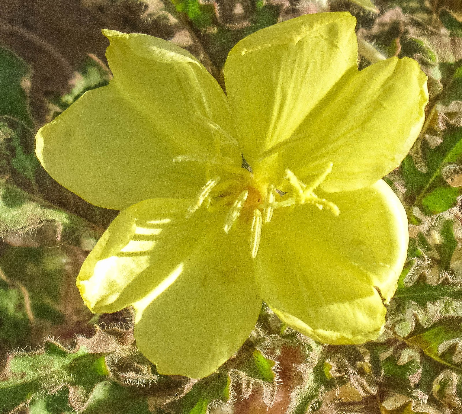 Cannundrums Yellow Desert Evening Primrose