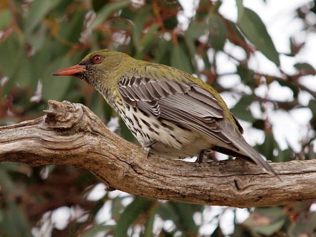 Oriolus_sagittatus_-Canberra%252C_Austra