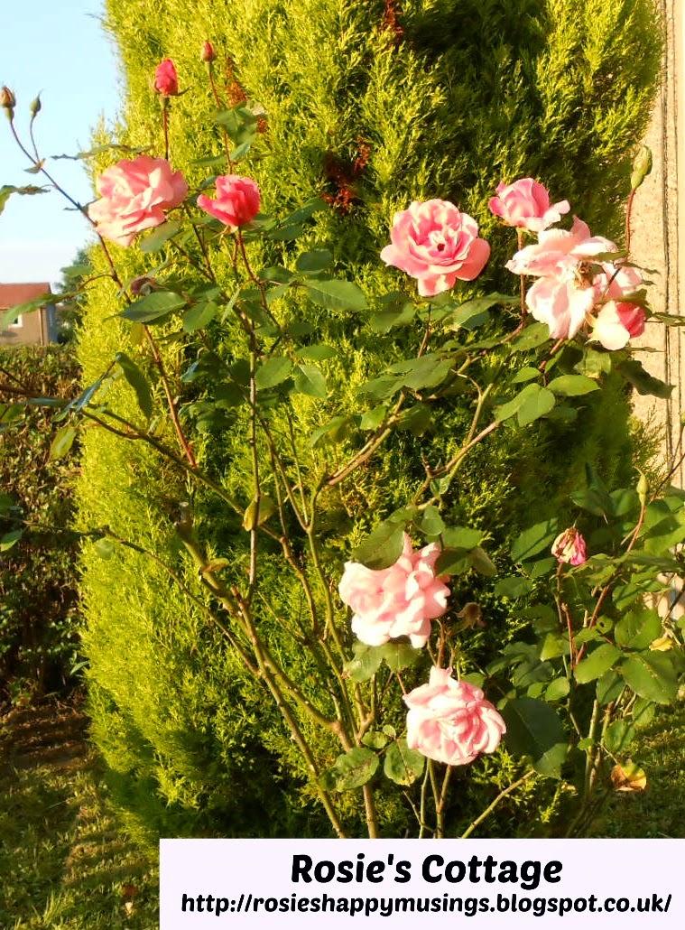 roses in rosie's garden