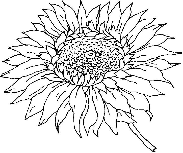 Gambar Mewarnai Bunga Matahari Terbaru gambarcoloring