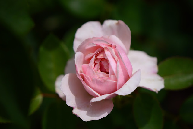 St. Swithun Rose, david austin, rose, english rose, amy myers photography
