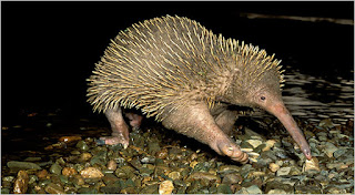 Long Beaked Echidna, Papua Endemic Species
